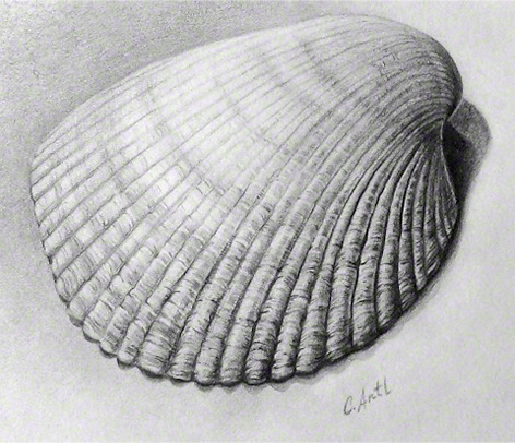 Carolina Cockle Shell